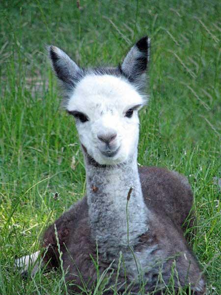 Face-of-Kooinda-Alpacas-copy