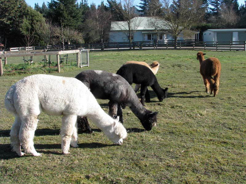 alpaca-farm-tours-otago-nz