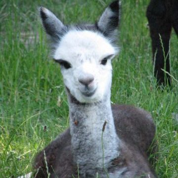Face of Kooinda Alpacas
